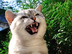 Kater Tobi 2011 (Kurt Gritzan) Tags: portrait pet cats pets cute face animal animals cat germany deutschland nikon kitten feline gesicht tabby kittens gatos whiskers nrw katze tobi gelsenkirchen katzen kater nordrheinw