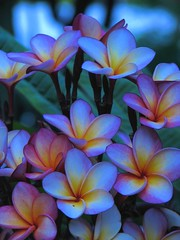 I love blue (Ani Carrington) Tags: blue mexico plumeria tropical frangipani tropicalflowers flowersadminfave cacaloxochitl