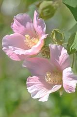 cotton rosemallow (snowshoe hare*(back and slowly catching up)) Tags: flowers botanicalgarden    cottonrosemallow  hibiscusmultabilis