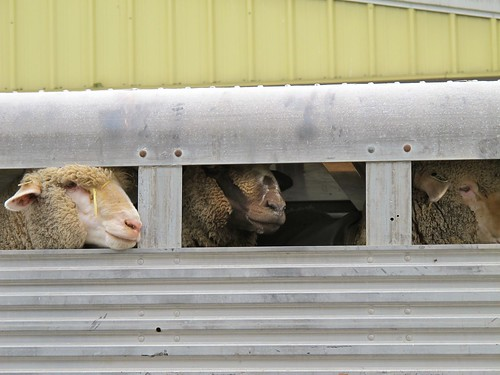 at the fair: sheep in a truck