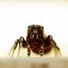 ugrópók jumping spider