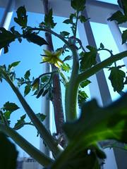 Flores de tomate de ramellet