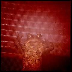 Please Let Me In! (BLACK EYED SUZY) Tags: wet rain screen toad hipstamatic kaimalmarkiilens blankonoirfilm