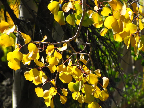 IMG_3835_Yellow_Aspen_Along_Utah_14