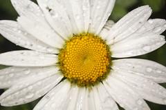 Close up of a Flower (Swon16) Tags: flower texture water rain closeup drops spring symmetrical