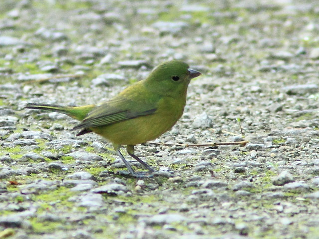 Painted Bunting 2-20111001