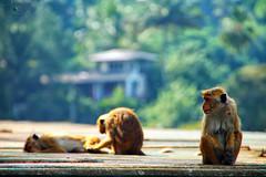 (7LM) Tags: nature monkey srilanka
