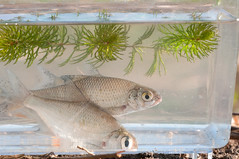 Bream and Roach (Sergey Yeliseev) Tags: rutilusrutilus commonbream abramisbrama  commonroach