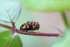 ladybugs climb