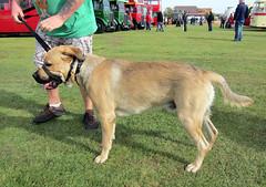 A Mastweiler (ohange2008) Tags: dog cars vintage castlepoint mastweiler canveybusrallytransportmuseumbuses