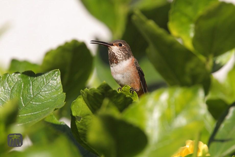 Allen's Hummingbird 101101-4