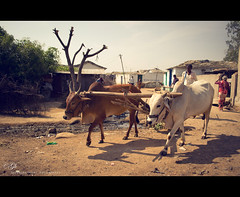 Villages are the best part of india. (Govind Ram) Tags: india photoshop nikon raw village cows huts villager lightroom photoscape mudroads d3100