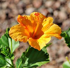 DSC_7885e (BDC Photography) Tags: arizona usa hibiscus buckeye perfectpetals nikond3 afnikkor180mmf28difedlens silveramazingdetails