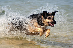 (Stevacek) Tags: dog lake water jumping action croatia running germanshepherd alsatian leaping splashing stevacek d700 july2011 vranskojezero