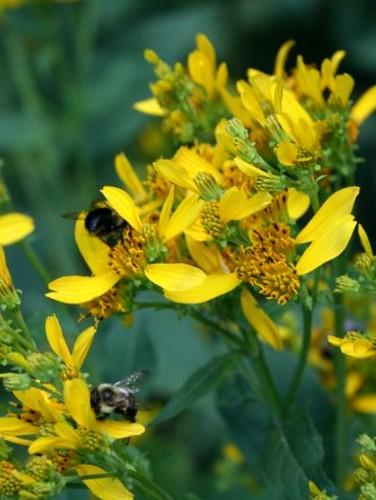 BumblebeesWingstemSept2011