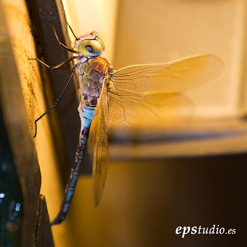 libélula bajo luminaria by Ezequiel Pallarés
