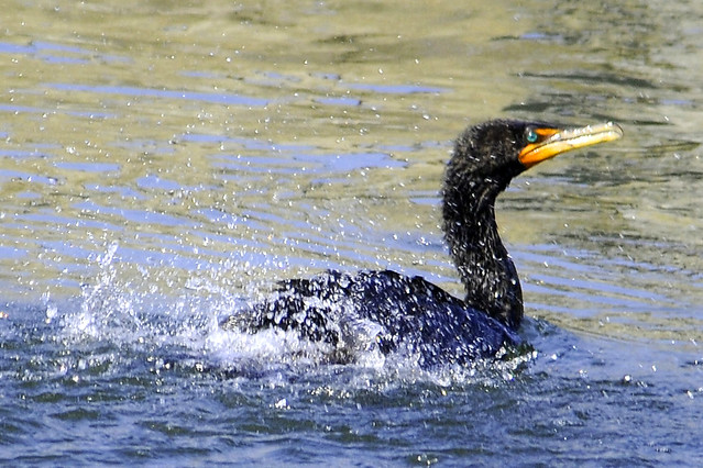 shaking double crested cormorant 4