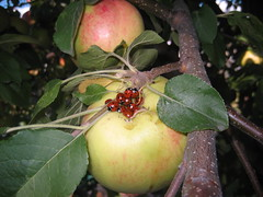 Sweetest Thing (blondygirl) Tags: summer music nature fruit bugs apples ladybugs beetles creatures ladybirds appletree  aphids coccinellidae september17