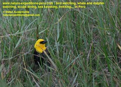 Yellow-hooded blackbird Birding Peru (Nature Expedtions 07) Tags: trip vacation bird peru nature birds holidays tour lima birding stefan andes trips guide blackbird peruvian icteridae agelaius expeditions yellowhoodedblackbird agelaiusicterocephalus chrysomusicterocephalus birdguide chrysomus pantanosdevilla yellowhooded icterocephalus natureexpeditions birdinginperu austermhle birdingperu birdinginlima
