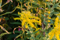 Goldenrod Photo