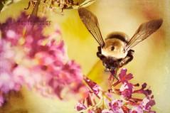 Honey . . . (KimFearheiley) Tags: macro bee bumblebee honey honeybee honeychild florabellatextures kimfearheileyphotography maitja