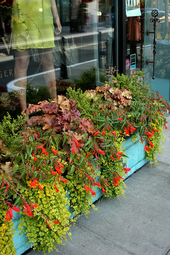 great container with begonia boliviensis, heuchera, and lysimachia aurea