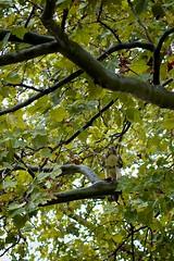 Champaign Weekend 15 (Gemma E. Petrie) Tags: autumn fall campus university hawk weekend quad september universityofillinois champaign prey familyvisit gradschool uofi centralillinois 2011 largebird