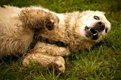 Shooting Immo & Quintus #3 ( kerstin-horn.de) Tags: portrait dog goldenretriever golden crazy retriever hund shooting immo