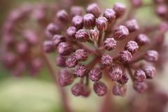 Bartlettina sordida (louisa_catlover) Tags: park city urban plant nature garden spring australia melbourne royalbotanicgardens melbournebotanicgardens
