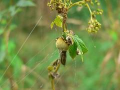 unbekannte Spinne, NGIDn301443769 (naturgucker.de) Tags: sterreich niedersterreich naturguckerde sixmhlebeiwaidhofenanderthaya cdorfschulekleineberhartsgruppehurricane ngidn301443769