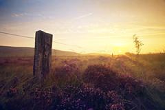 All around the bloomin' heather... (Stuart Stevenson) Tags: mist tree grass sunrise fence landscape photography golden scotland purple heather fencepost heathland hss mistymorning diffusedlight clydevalley canon1740mm autumnmist bloomingheather canon5dmkii stuartstevenson stuartstevenson