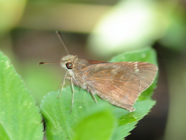Small Skipper 20110923