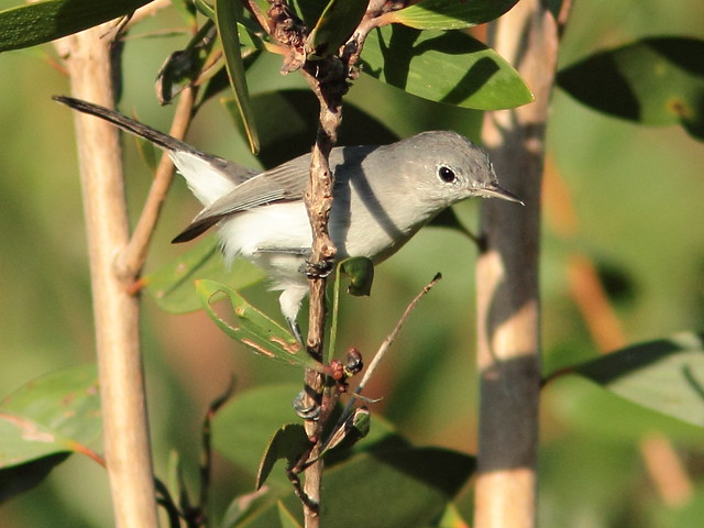 Blue-gray Gnatcatcher 2-20110923