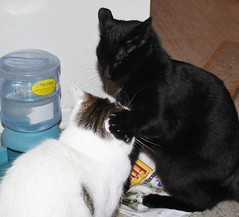 Pixie Bops Missy Over Water Cooler Dispute! (silverbox2: Willow Is Purring) Tags: pet sisters blackcat feline pixie explore missy dispute catsshowoffyourcats siamesecatsandtheirfelinebrothers catsunleashed welcomefurryfriends