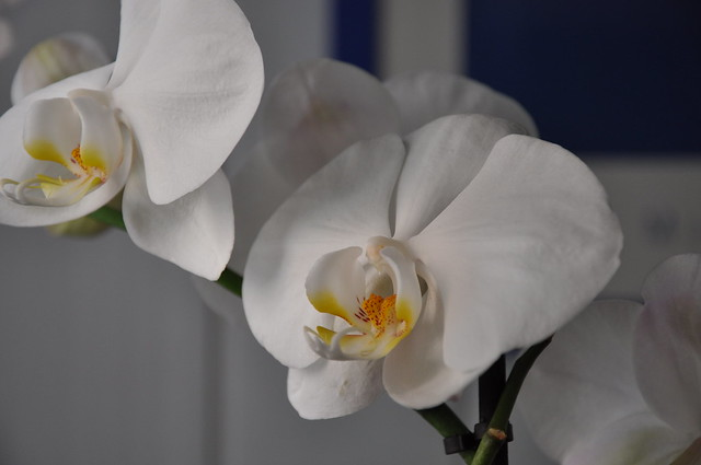 Orchids (phalaenopsis white)