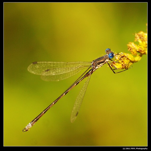 Great Spreadwing (Archilestes grandis)