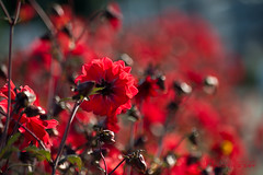 Deep red (Chrisseee) Tags: dahlia autumn red flower canon bokeh september kristiinahillerstrm chrisseee