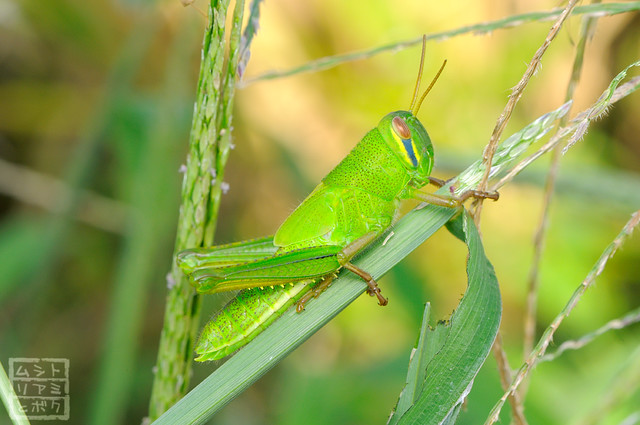 Patanga japonica (larva)