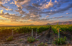Edna Valley Winery (Silent G Photography) Tags: california ca sunset wine harvest rows grapes centralcoast hdr highdynamicrange sanluisobispo ednavalley winecountry lightroom photomatix niksoftware ononesoftware ednavalleywinery nikond7000 nikkor1635mmf4 markgvazdinskas silentgphotography