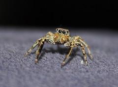 Salticidae>Pellenes Jumping spider IMG5614 (Bill & Mark Bell) Tags: exmouth westernaustralia australia geo:town=exmouth geo:state=westernaustralia geo:country=australia geo:lon=11425453egeolat2217752sgeoalt8m 11425453e2217752salt8m taxonomy:kingdom=animalia animalia taxonomy:phylum=arthropoda arthropoda taxonomy:class=arachnida arachnida taxonomy:order=araneae araneae taxonomy:family=salticidae salticidae taxonomy:genus=pellenes pellenes taxonomycommonnamejumpingspider jumpingspider spider