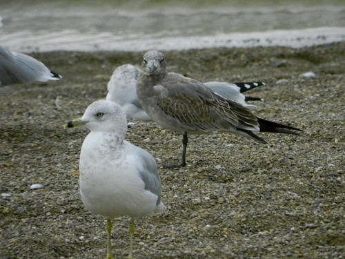 Juvenile molting into 1st winter Laughing Gull
