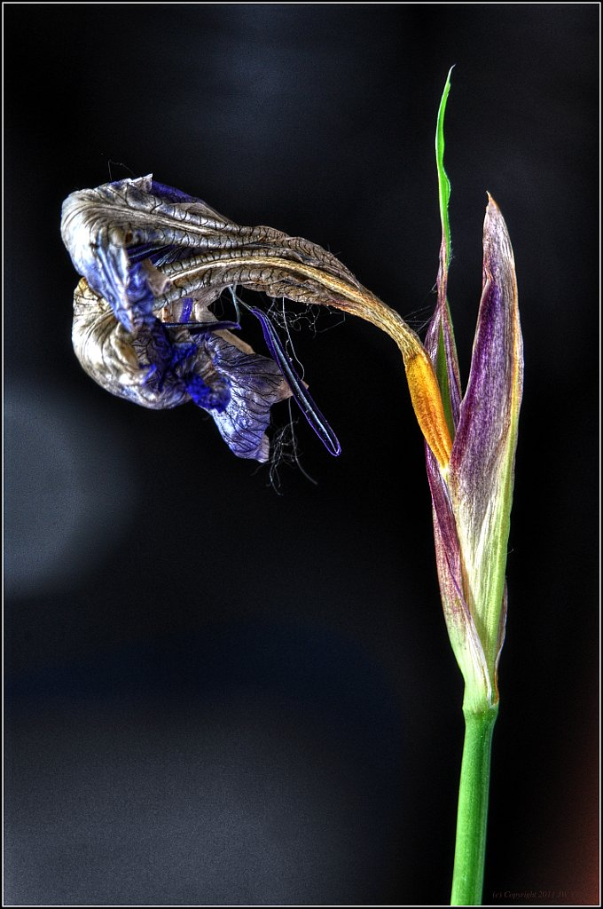 Dried-Out Dutch Iris - HDR