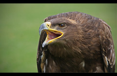 Golden Eagle (Lightnomad) Tags: brown green bird nature canon eagle bokeh ngc imprisoned kleinauheim altefasanerie eintrachtfrankfurt ef2470l eos40d heraldiceaglegermany