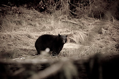 Black Bear at River Mouth (coastalcreature) Tags: bear river fishing stream britishcolumbia vancouverisland blackbear salmonfishing