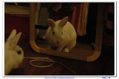 超萌兔子-09 (阿鶴) Tags: macro rabbit nikon flickr d d70s f micro wesley 28 mm af 60mm nikkor 兔子 flick f28 60 chen 萌 飯糰 afd howen 阿鶴 鶴仔 chenhowen 阿鶴仔