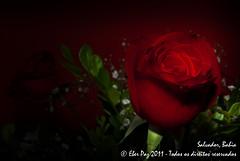 Uma rosa (Eber Paz) Tags: brazil flores brasil nikon salvador eber d60 2011 salvadorba nikond60 ©eberpaz eberpaz ©eberpaz2011