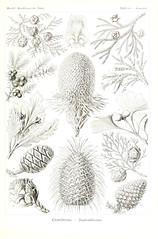 Anglų lietuvių žodynas. Žodis celery top pine reiškia salierų viršuje pušis lietuviškai.