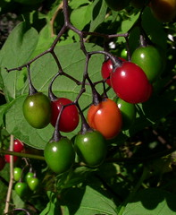 wild red, green, and orange berries [3] (david_f_knight) Tags: red orange green berries cluster unripe ripe wildberries woodynightshade woodynightshadeberries