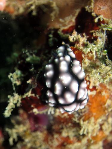 コイボウミウシ (Phyllidiella pustulosa)