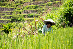 Banaue: Rice terraces, UNESCO World heritage Site. (ThomasLecomte) Tags: world voyage leica travel hot heritage girl architecture cat landscape rice candid sony philippines terraces sigma kittens unesco banaue a55 kiitens iphoneography instagram